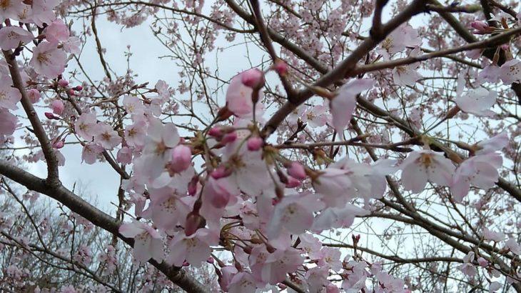 2021.3.22☆うじゅうの森蚤の市にてあっという間に桜がお出迎えしてくれる季節に~